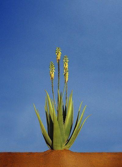 planta de aloe vera con flor